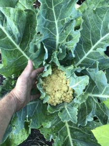 """A picture of our 'Minuteman' cauliflower head with a hand next to it for scale.  It's about 4-5"""" in diameter"""