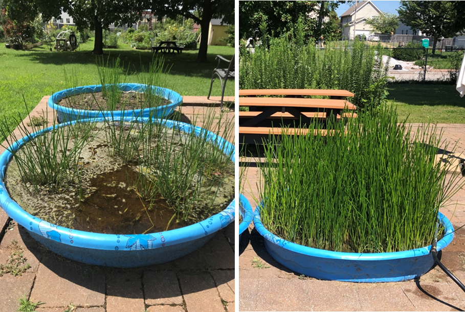 Left picture shows water chestnuts soon after planting when the kiddie pool looks sparse.  Right image shows the kiddie pool totally full in September