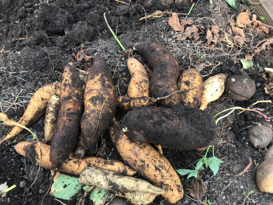 Shows the pile of harvested O'Henry sweet potatoes