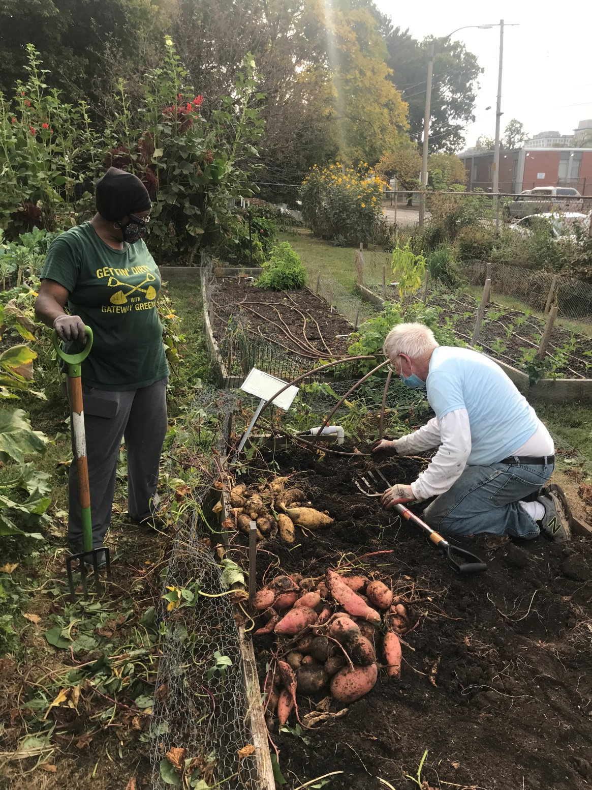 Image showing the harvested piles of Haymon and carolina ruby sweet potatoes and the volunteers who harvested them