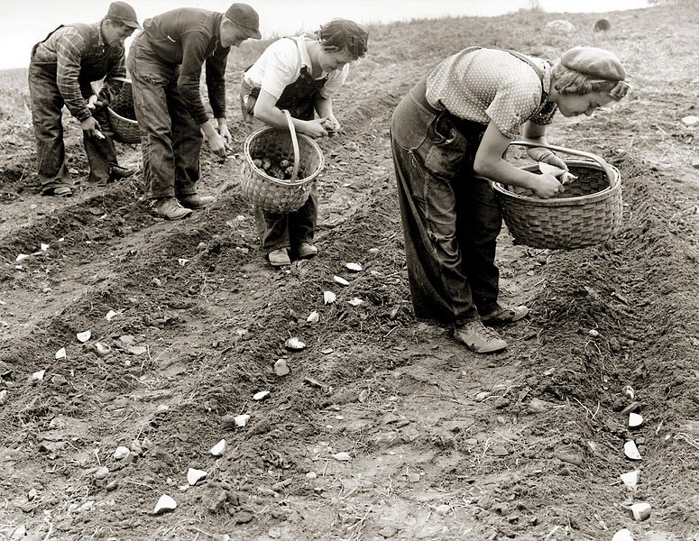 Men_and_women_planting_potatoes_(circa_1950)