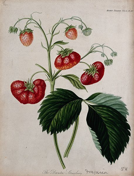 The_Downton_strawberry_plant_(Fragaria_cv.);_fruiting_stem_a_Wellcome_V0044479