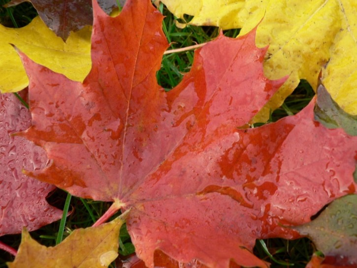 autumn-big-maple-leaves_w725_h544